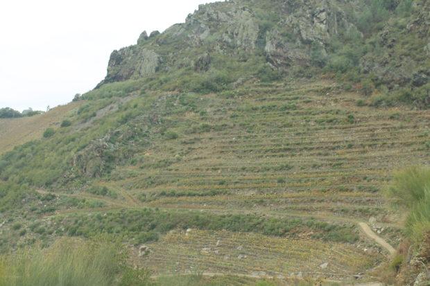 標高600mほど、山の急な斜面にあるリベイラ・サクラのぶどう畑