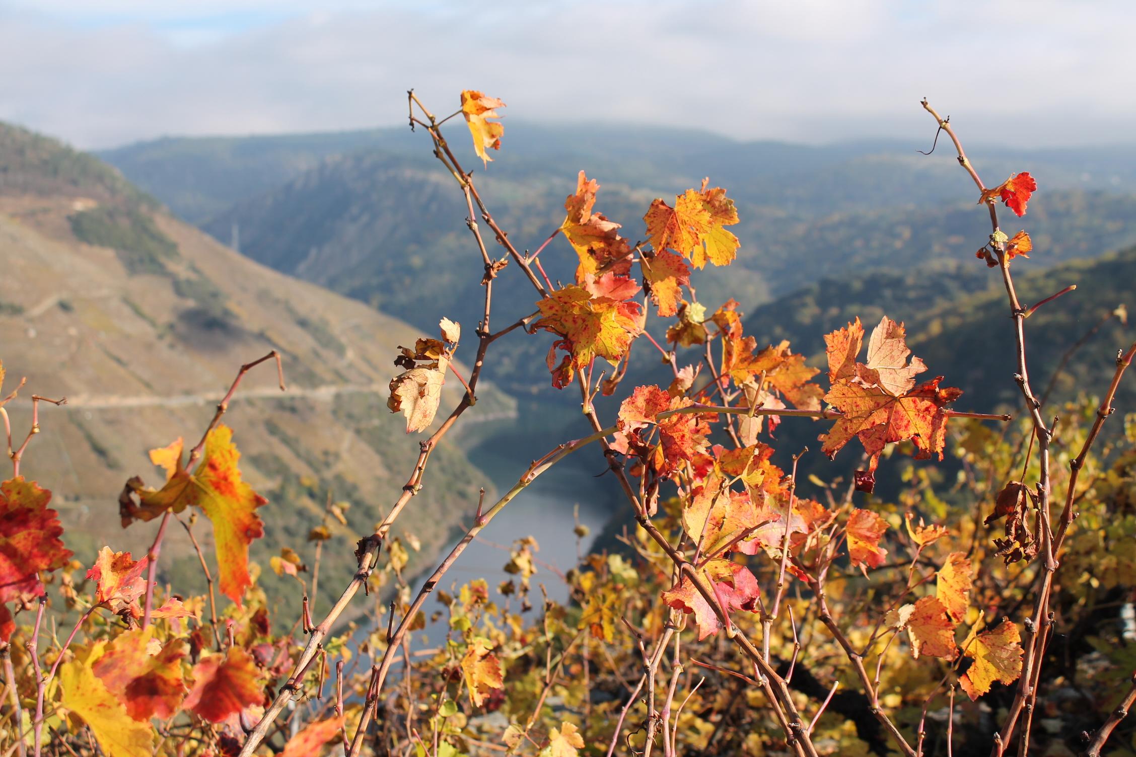 リベイラ・サクラ 紅葉したぶどうの葉とシル川