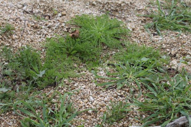 リベイロ 土壌