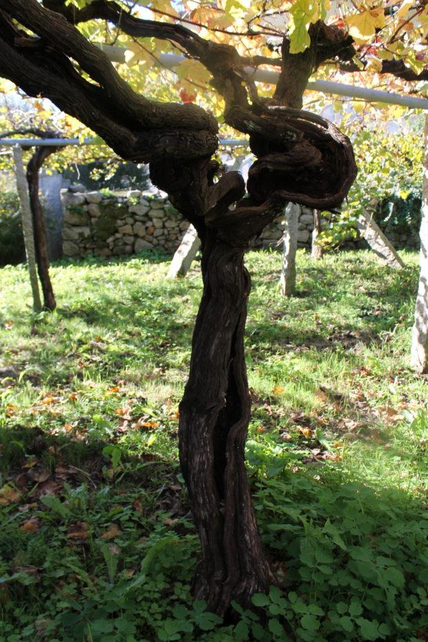 アルバリーニョの古木