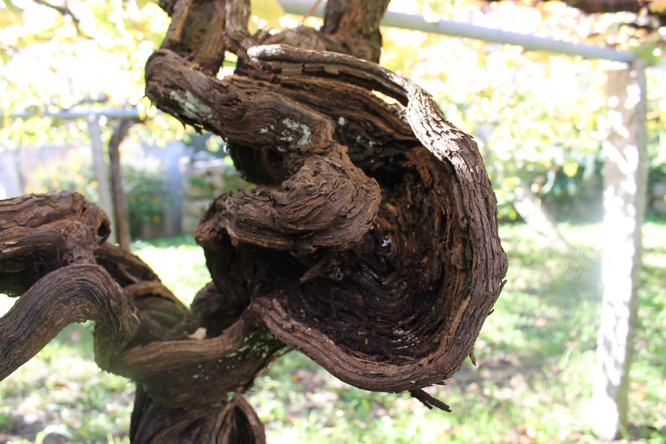 リアス・バイシャス アルバリーニョの樹