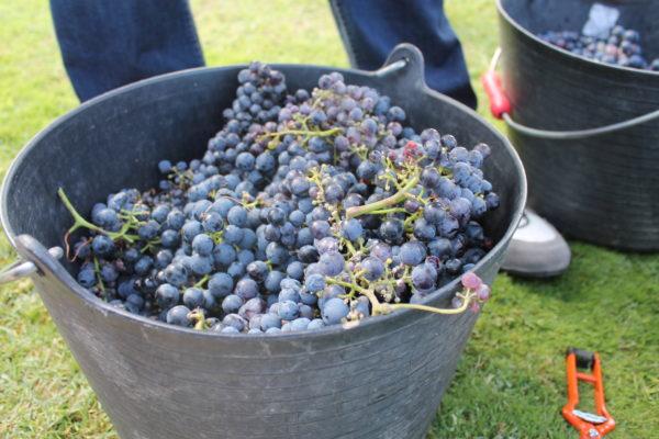 リオハ 収穫体験